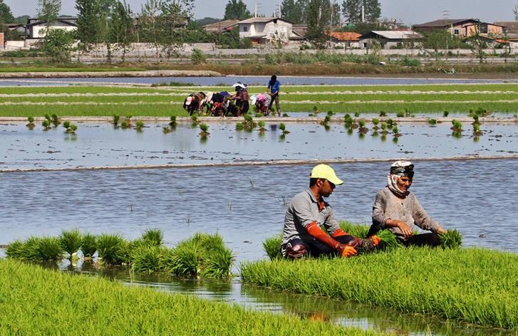 خزانه برنج ایرانی berenlha.ir