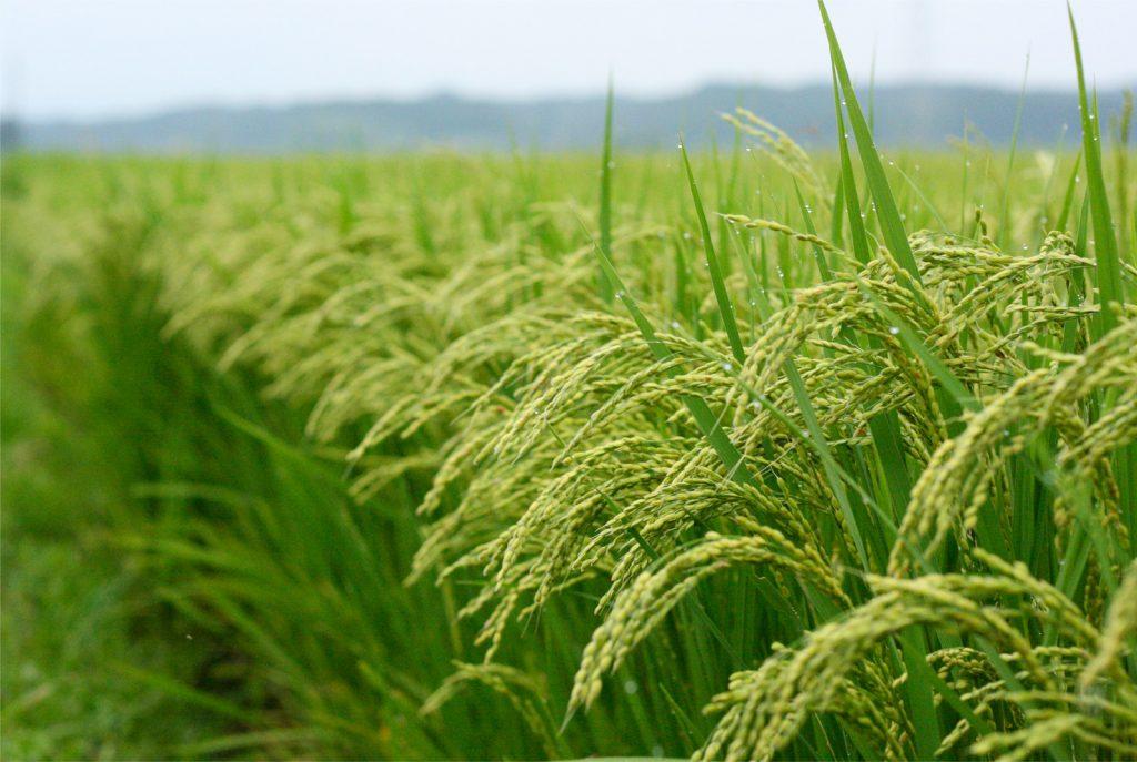 خرید برنج ایرانی